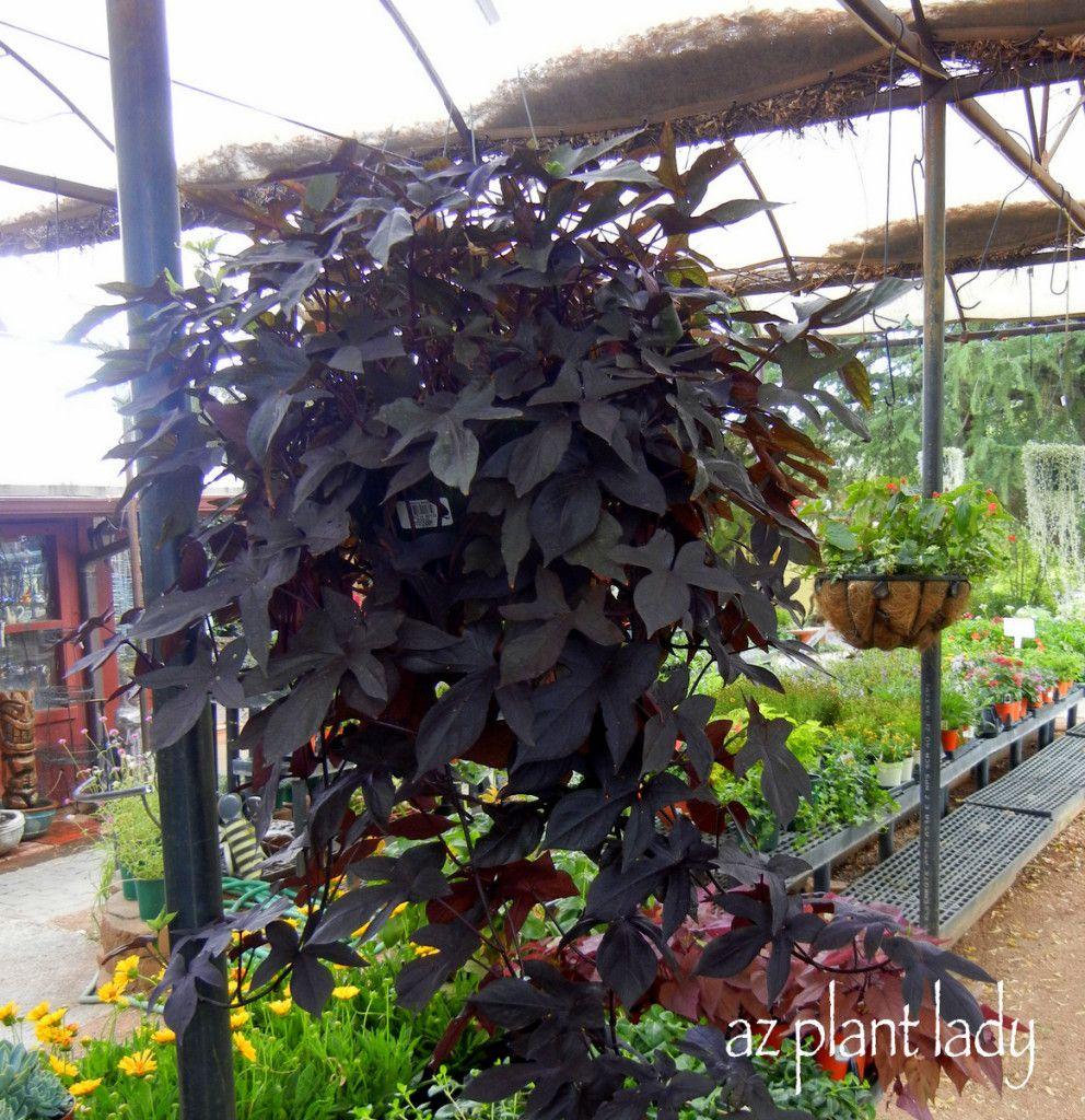 Black Sweet Potato Vine Potato Vine Planters Sweet Potato Vine Potted Plants Patio