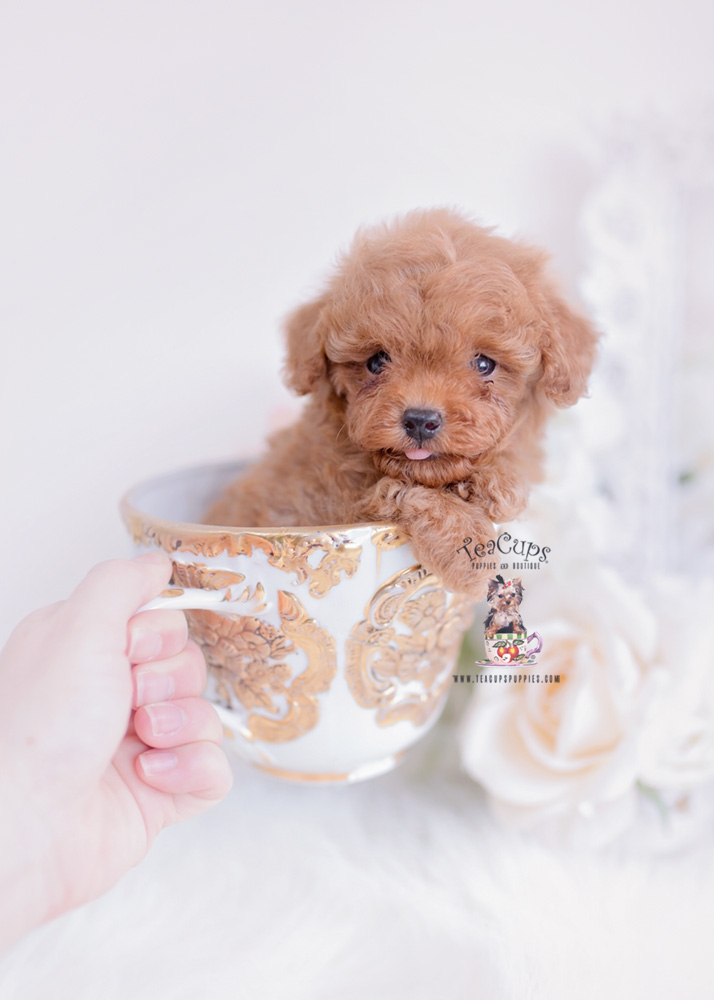 Tiny Red Toy Poodle Puppy Teacup Puppies 320 A Teacup Puppies Poodle Puppy Toy Poodle Puppies