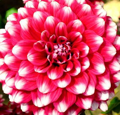 Dahlia Beautiful Flowers That Come In A Huge Variety Of Sizes Colors And Shapes They Back Every Year Not So Crazy About The Plant Itself Easy