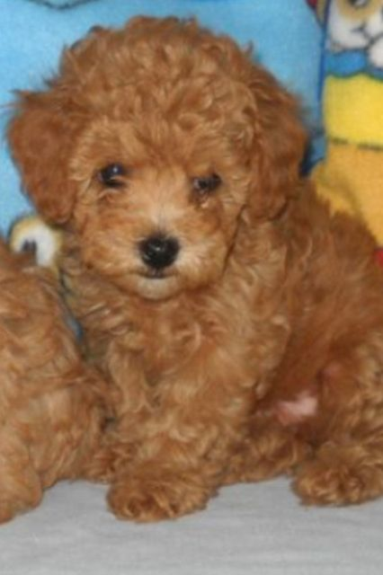 Little Phoebe She S Growing So Fast Apricot Poodle Poodle
