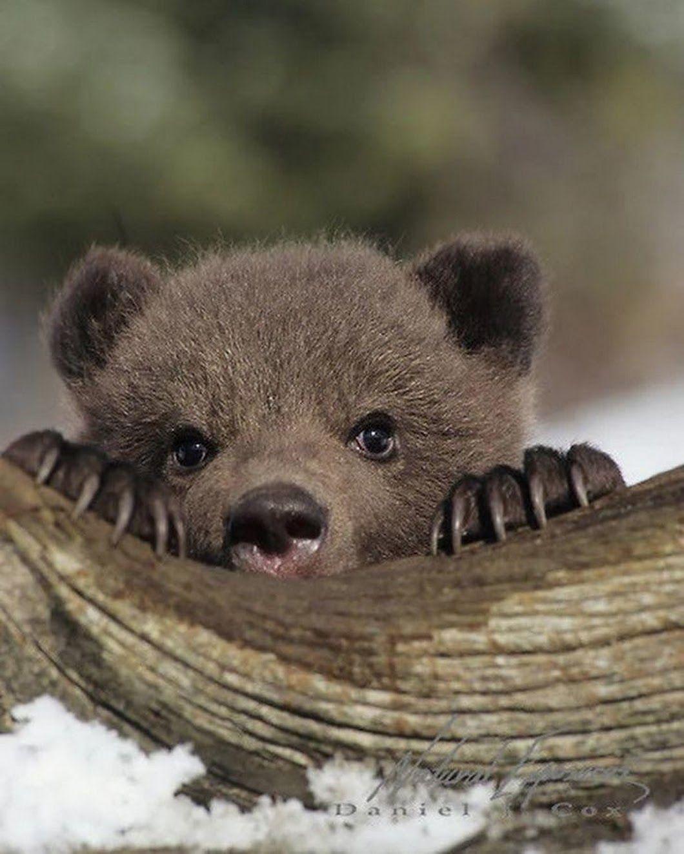 Смешные картинки медвежата