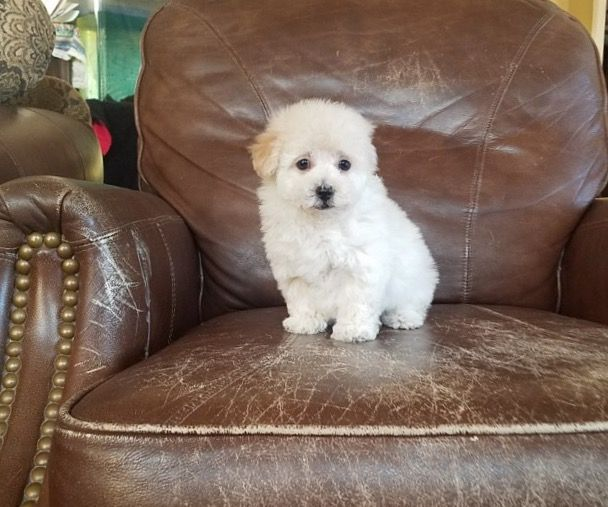 MaltesePoodle (Toy) Mix puppy for sale in LOS ANGELES, CA
