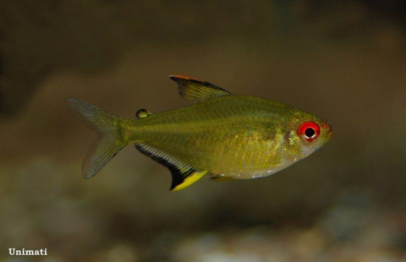Hyphessobrycon Pulchripinnis Lemon Tetra Seriously Fish Aquarium Fish Tetra Fish Fish Pet