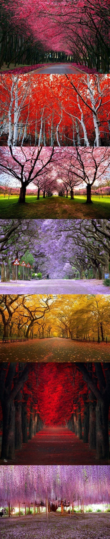 Cherry Blossom Road California Cherry Blossom Tree Path Germany Jacaranda Trees South Africa Yellow Autumn Central Jacaranda Tree Oak Tree Tattoo Blossom Trees