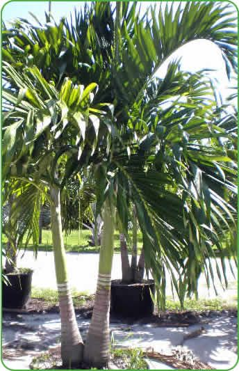 christmas palm veitchia merrillii google search pots and - Christmas Palm Trees For Sale