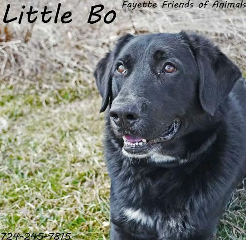 Meet Little Bo A Petfinder Adoptable Flat Coated Retriever Dog