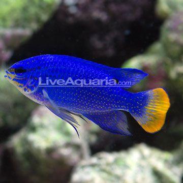 Sw Orangetail Blue Damselfish Male Indonesia Saltwater Aquarium Fish Fish Aquarium Fish