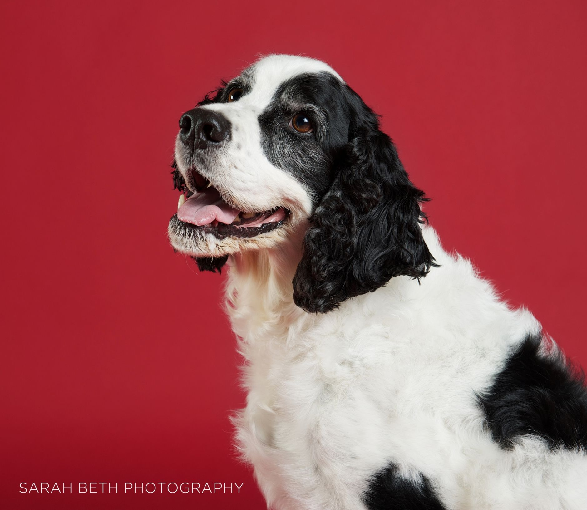 English Springer Spaniels October Rescue of the Month