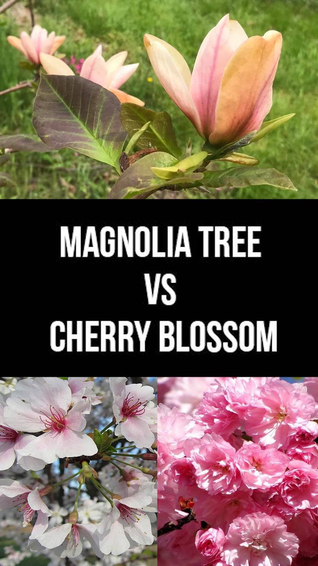 Magnolia Tree Vs Cherry Blossom They Are Very Different Video Plants Garden Types Magnolia Trees