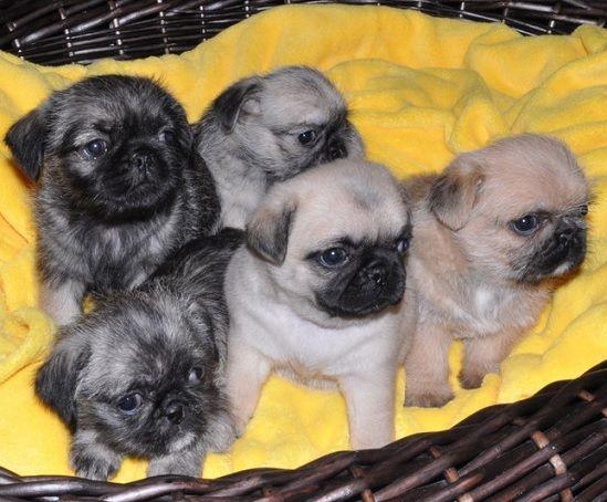 Pug And Shih Tzu Pug Zu Cute Animals Pug Mixed Breeds Pug Zu