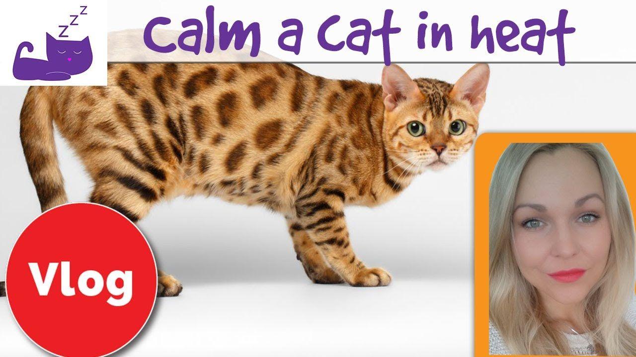 How to calm a cat in heat in 2020 Cat in heat, Cats