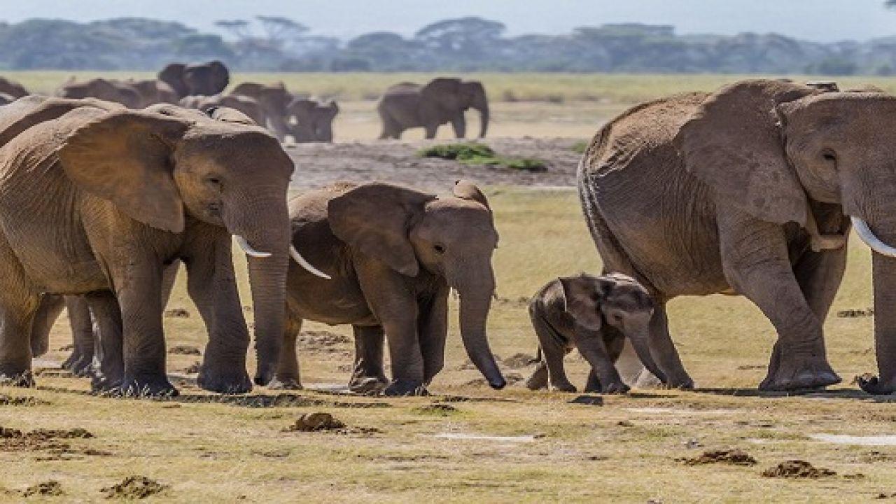 كم مدة حمل الفيل Elephant Animals Minden