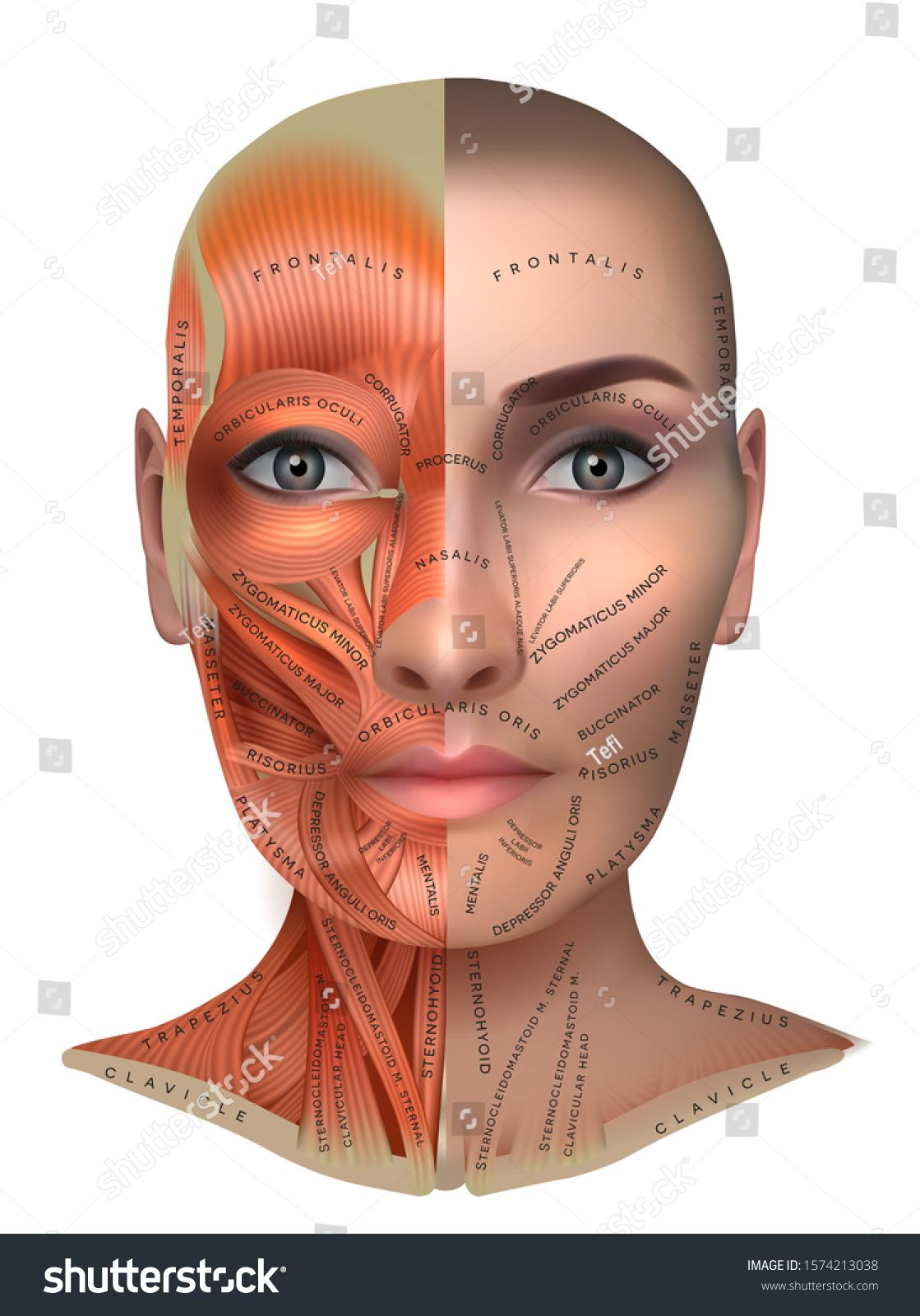 under chin muscle diagram muscles of the female face and neck structure physiology study  muscles of the female face and neck