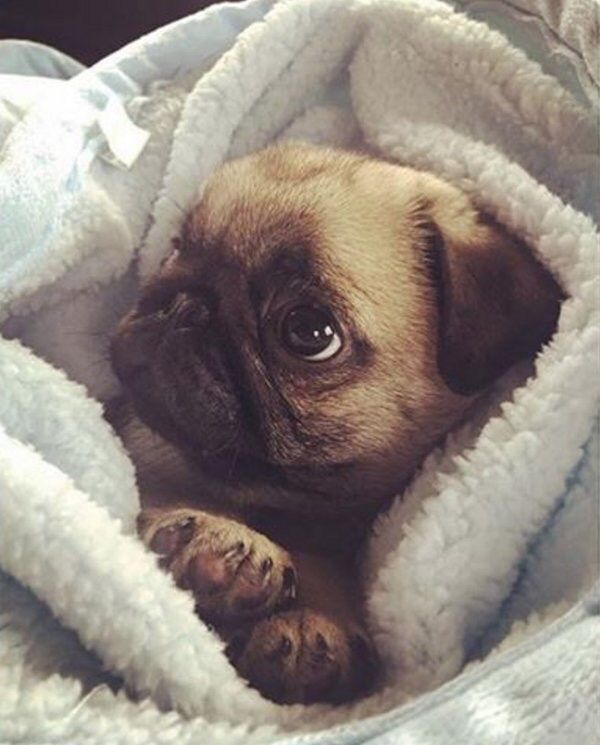 Like A Pug In A Blanket Cute Pugs Pug Puppies Baby Pugs