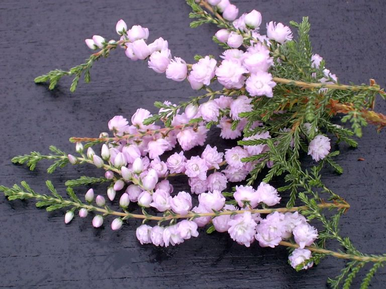 County Wicklow Heather Plants For Sale Heather Flower Heather Plant Plant Sale