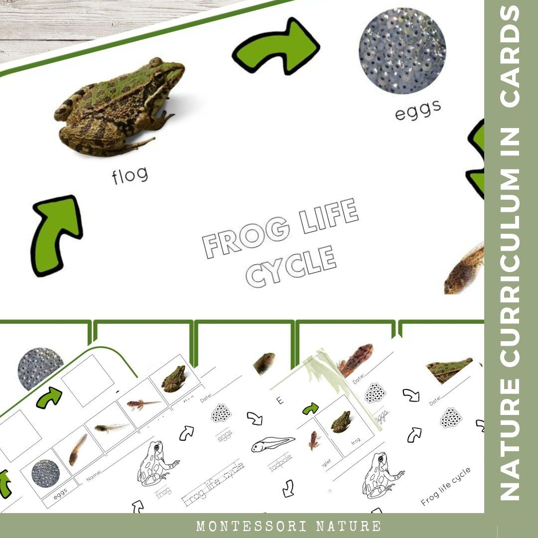 Frog Life Cycle Nature Curriculum In Cards Montessori Nature Frog Life Lifecycle Of A Frog Frog Life Cycle Activities