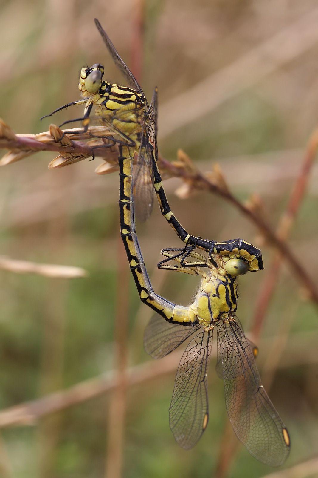 FileYellow striped hunter mating.jpg Macro photography