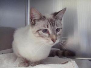 Sheba is an adoptable Siamese Cat in Newington, CT.  ...