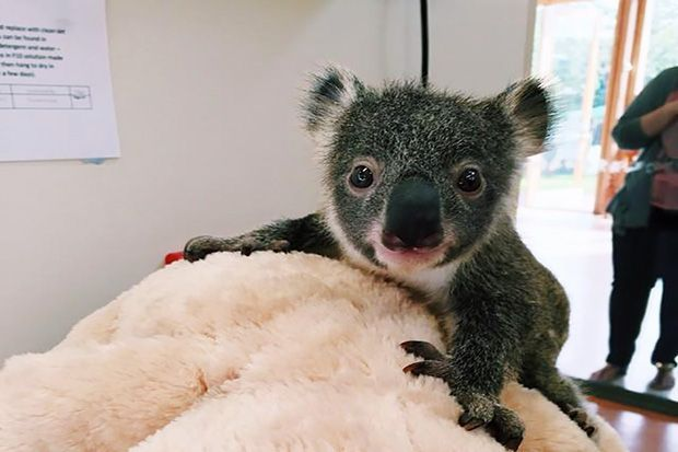 For Koalas Such As This Young Marsupial Patient At The Australia Zoo Wildlife Hospital September Through February Can Be A Trying Time Zoo Officials Ca Animali