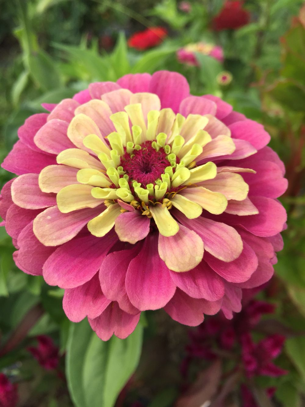Queen red lime zinnia (With images) Flower farm, Zinnia