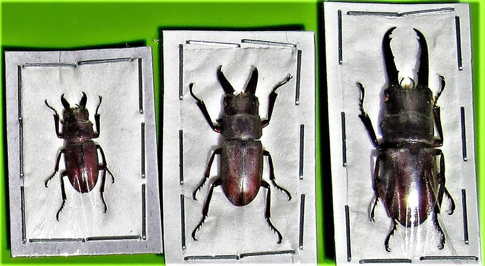 Lot os 10 Stag Beetle Hexarthrius parryi paradoxus 70-75mm Male FAST FROM USA