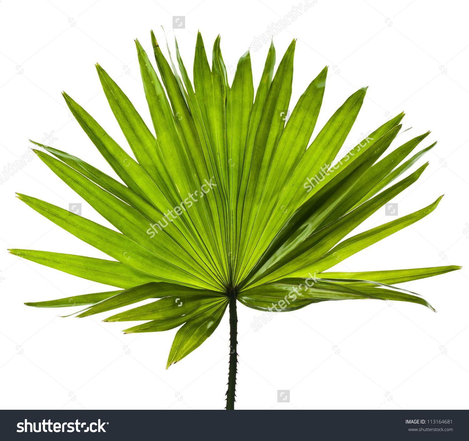 stock photo single green palm leaf livistona rotundifolia palm