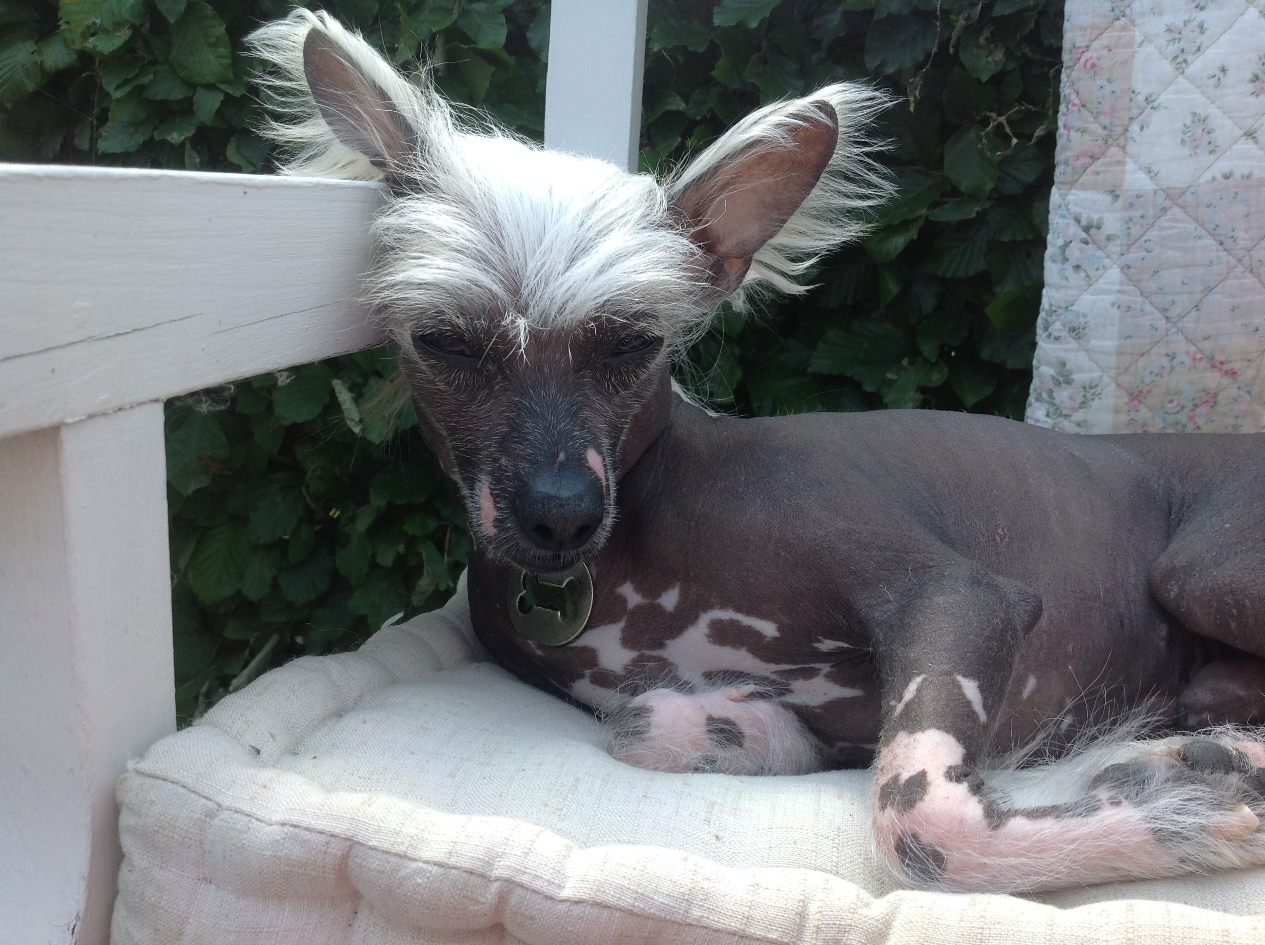 Chinese Crested. Gizmo
