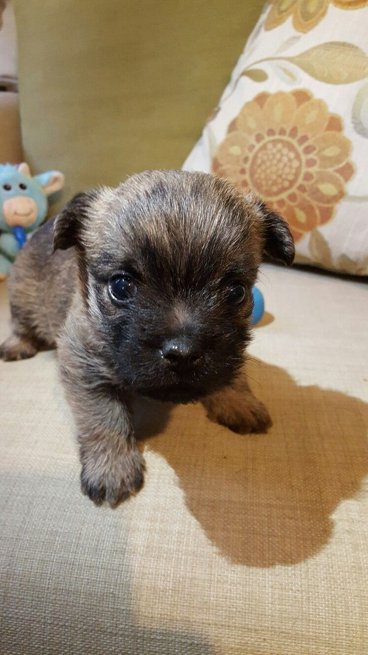 Hi I M A Cairn Terrier Puppy I M 5 Weeks Old And The World Is So