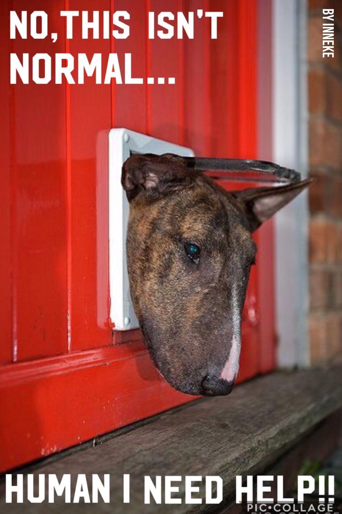 #inneke   Bull terrier, Bull terrier puppy, English bull ...