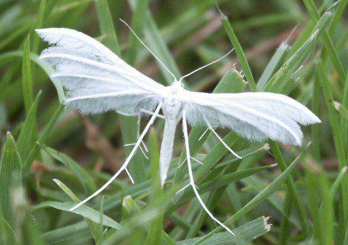Plume Moth Pterophorus Pentadactyla Insekten