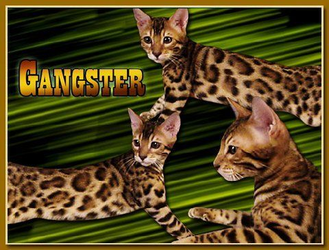 Bengal Cat Breeder with Bengal Kittens For Sale in Florida | Destiny