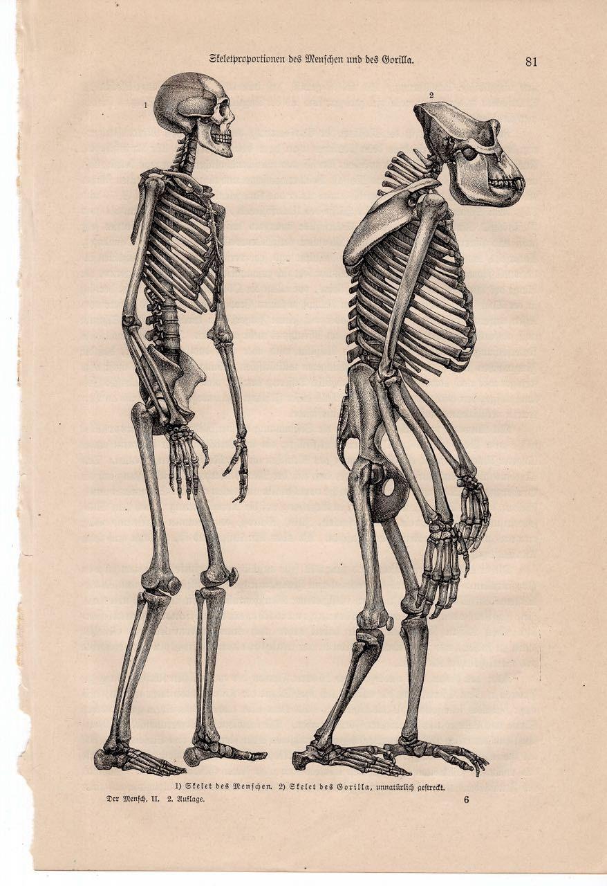 1894 SKELETON print original antique ancient culture lithograph ...