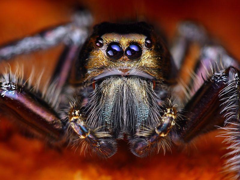 Hyllus Diardy Spinnentiere Tiere Spinne