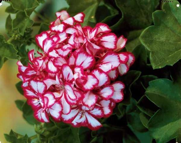 g raniums lierre bicolores plantes aux couleurs originales pinterest lierre g raniums et. Black Bedroom Furniture Sets. Home Design Ideas