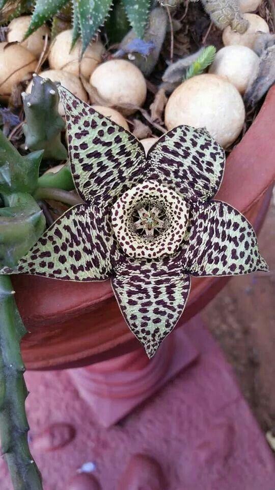 Carrion Flower