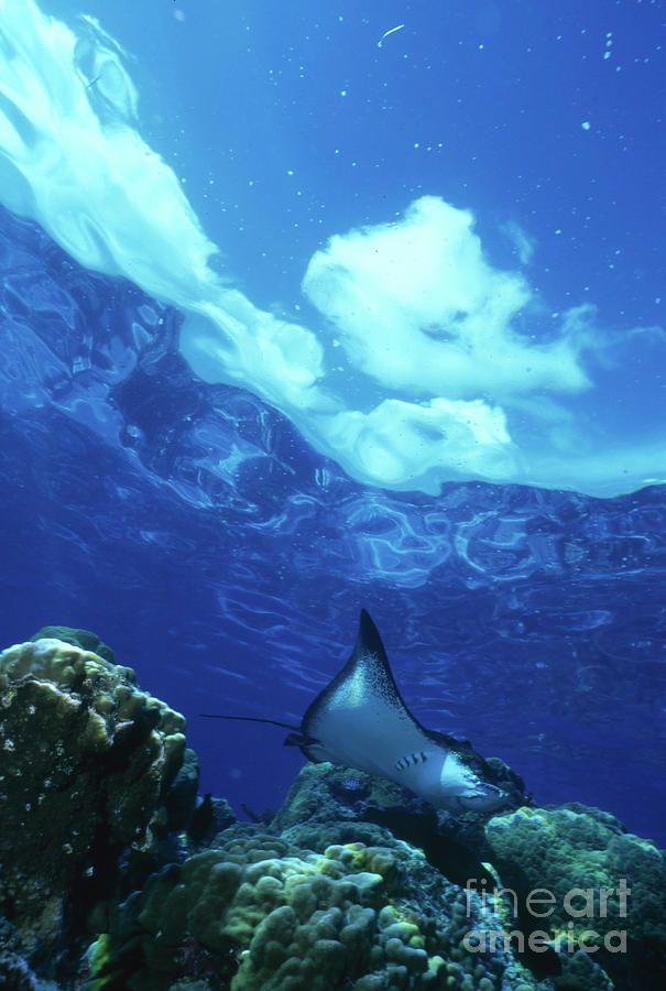 Eagle Ray, Bora Bora ©Beverly Factor / StockTrek Images