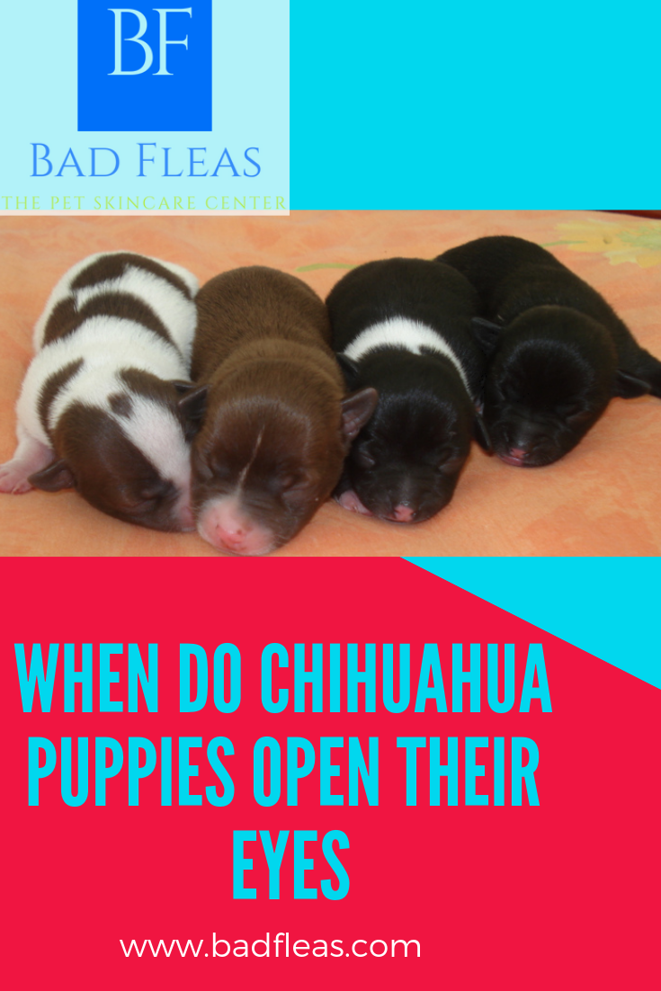 When Do Chihuahua Puppies Open Their Eyes Chihuahua Puppies Chihuahua Dog Skin Care