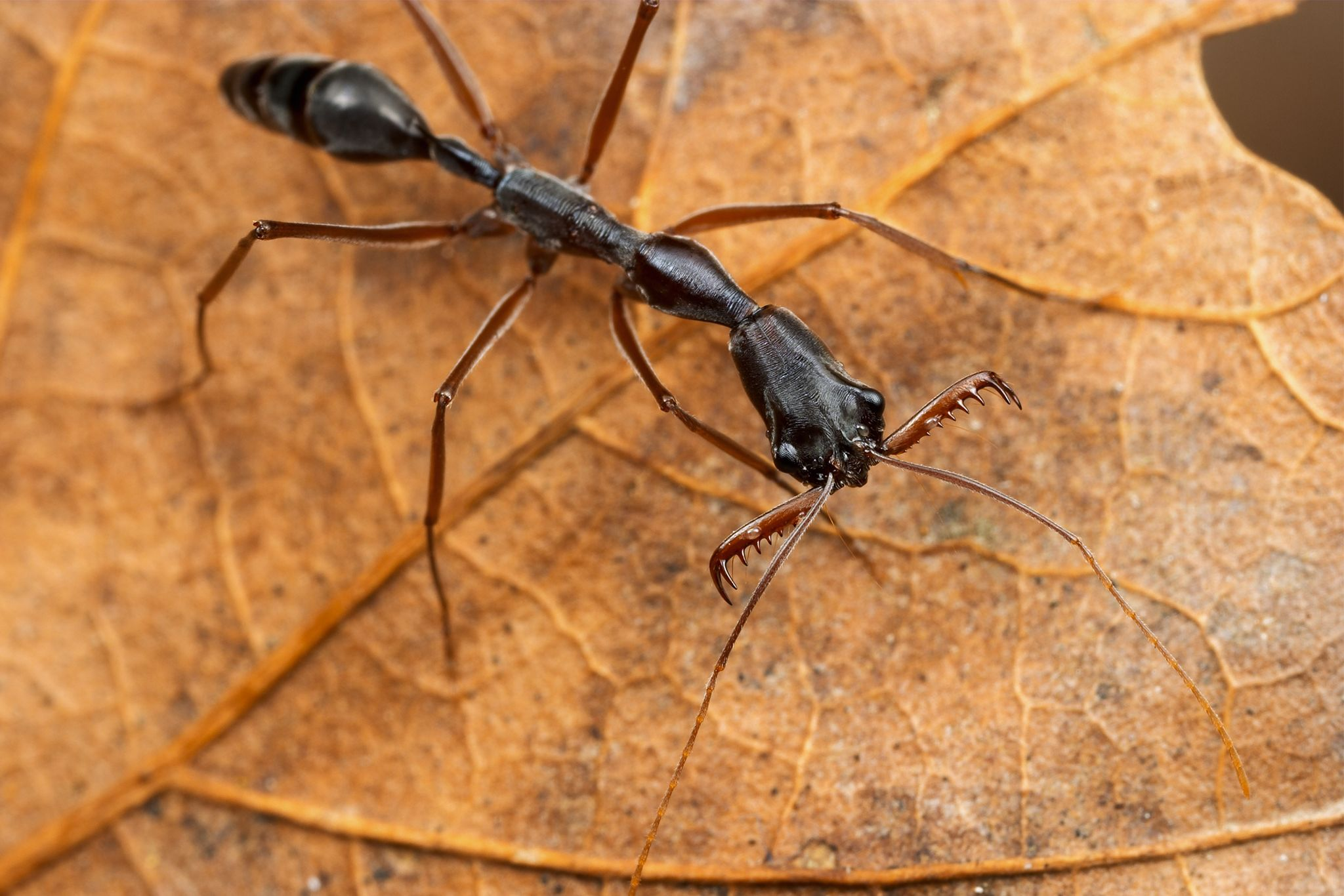 There's an invasive species conquering new territory in the southeastern United States. It has gnarly jaws, a formidable sting, and the ability to launch itself into the air like a bottle rocket. These insects are known as trap-jaw ants, and they could be heading to a backyard near you. Most trap-jaw ants belong to the genus Odontomachus, named for their mandibles, or mouthparts, which are capable of opening 180 degrees.