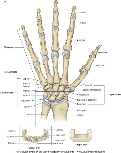 Hand Bones Anatomy | medical assisting teaching | Pinterest ...