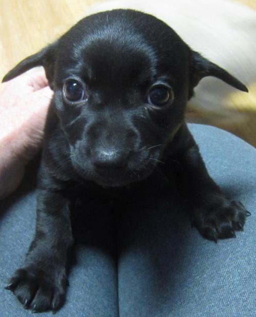 Adopt Porsche On Dachshund Dog Cute Animals Dachshund Mix