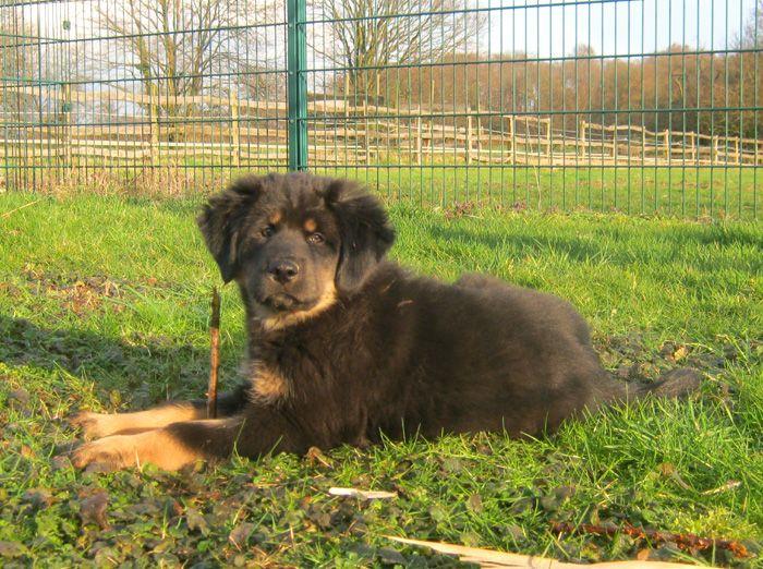 Do Khyi Dokhyi Do Khyi Tibetdogge Tibet Mastiff Tibetan Mastiff Tibetaanse Mastiff Fotos Do Khyi Hundinnen Do Khyi Herdenschutzhunde Tiere