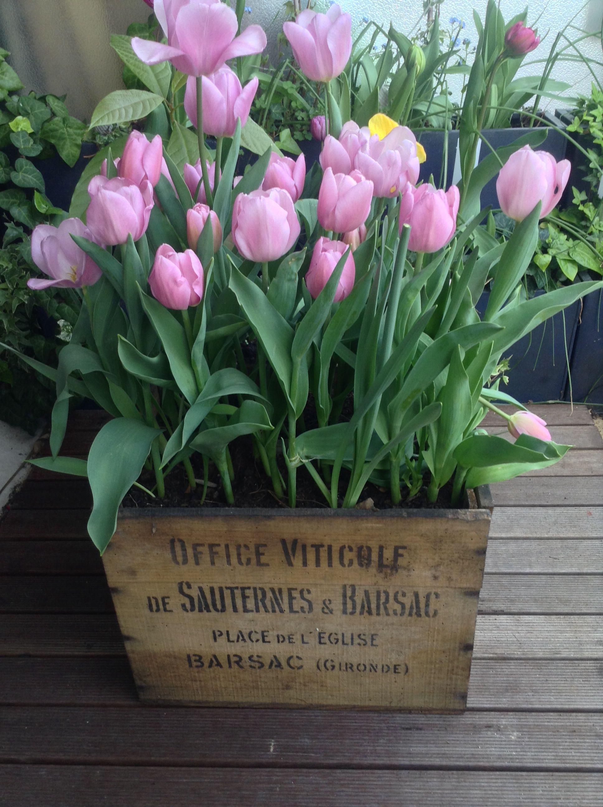 De belles tulipes dans une vieille caisse de vin. Idéal