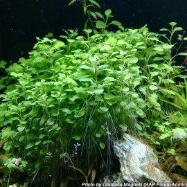 lobelia cardinalis 39 mini 39 pianta d 39 acquario acquario pinterest mini. Black Bedroom Furniture Sets. Home Design Ideas