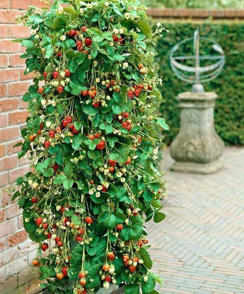 fraisier en pot conseil culture et plantation jardin pinterest fraisier support et le. Black Bedroom Furniture Sets. Home Design Ideas