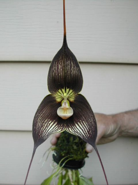 Masdevallia Dracula Orchids In Our Tropics Wonderful Flowers Unusual Flowers Beautiful Orchids