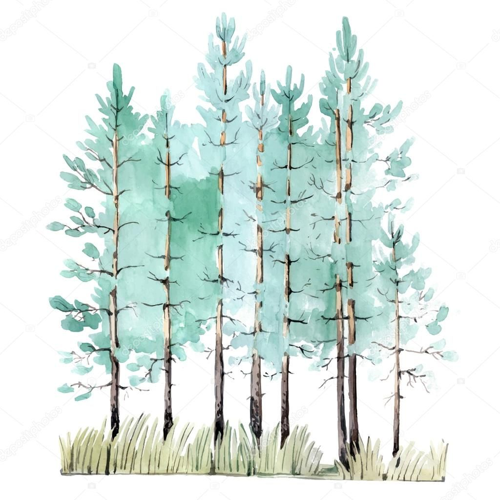 Watercolor Painting Of Young Pine Tree Wood Isolated On White