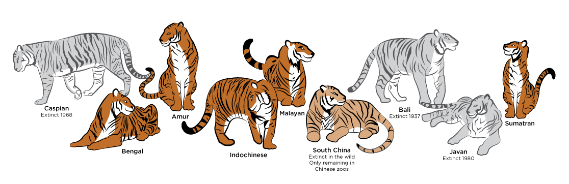 poddruhy tygrů