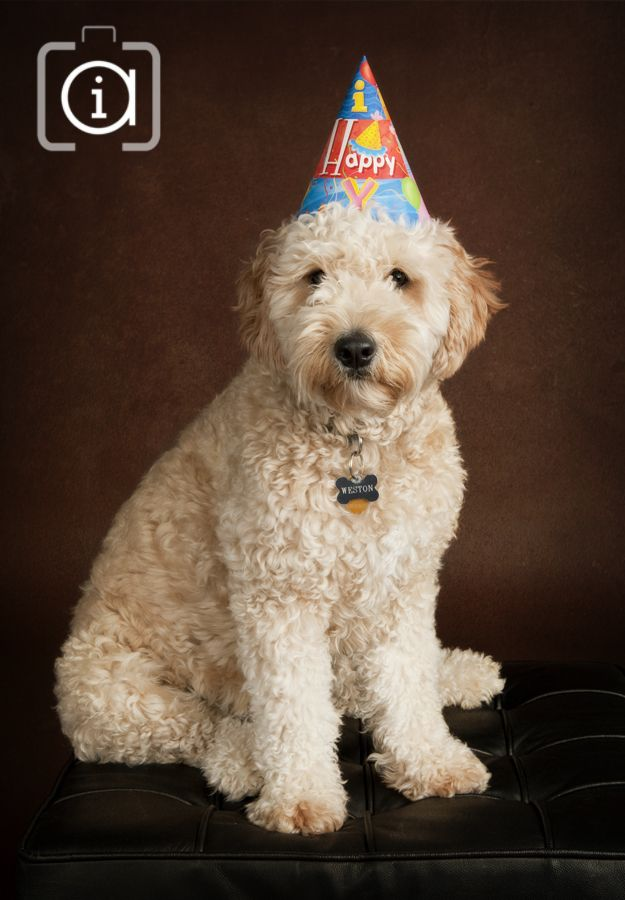 Weston The Mini Golden Doodle 2 Yrs Old Photo By Artistic