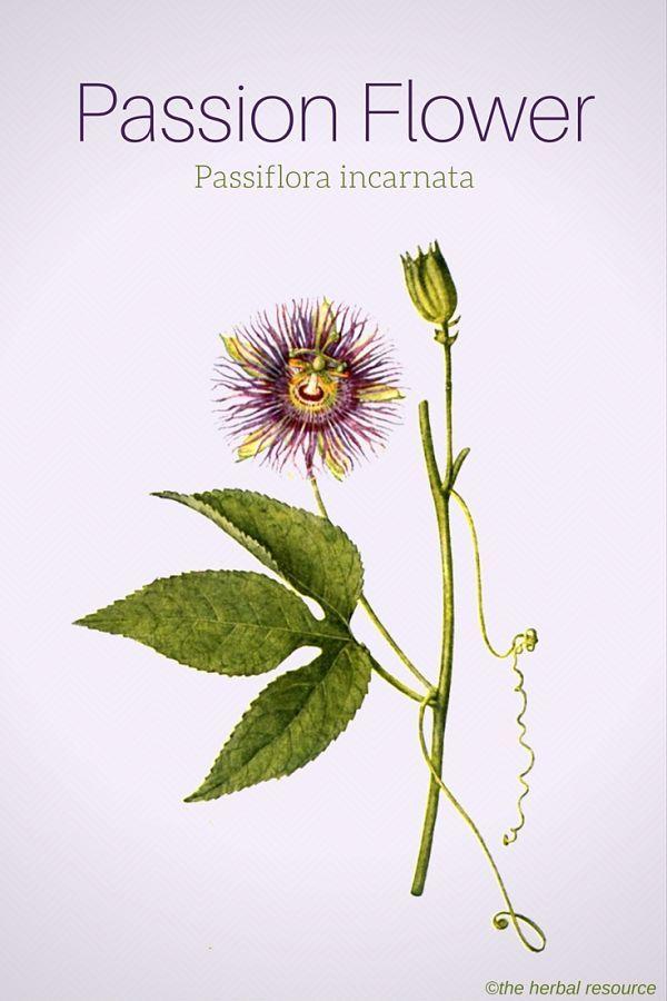Passion Flower Passiflora Incarnata Passion Flower Passion Flower Herb Planting Herbs