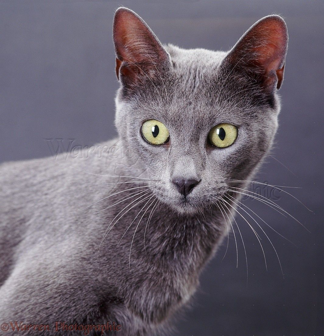 Blue Bengal X Burmese Cat On Grey Background Photo Wp37706